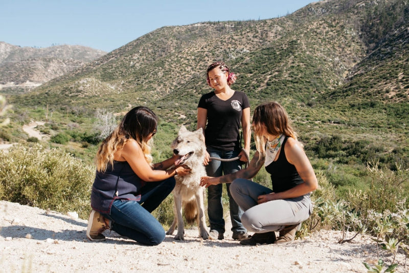Guests pet a wolf on the Los Angeles Airbnb experience Walk with wolves